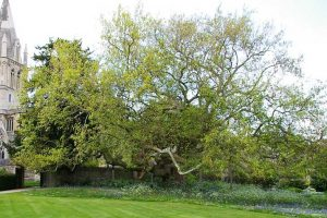 Plane tree in the cathedral garden