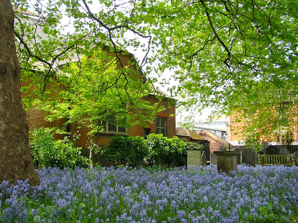 Our magnificent show of bluebells in the spring